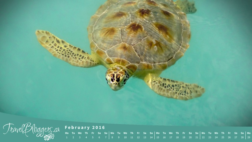 TravelBloggers.ca, Sea Turtle, Bahamas, Exuma