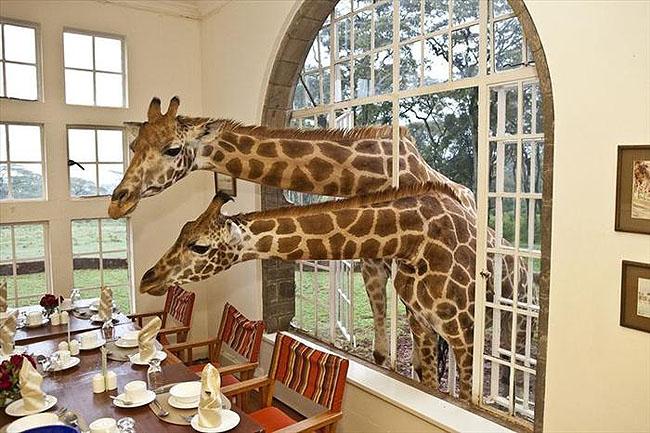 Giraffe Manor, Lang'ata Nairobi, Kenya