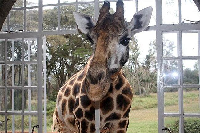 Giraffe Manor, Lang'ata Nairobi, Kenya -7
