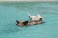 Swimming With The Pigs - Exuma, Bahamas , TravelBloggers.ca